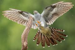 Cuckoo (robin elliott photography) Tags: cuckoo cuckoos bird birds birding birdwatch birdwatching wings flight