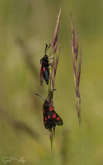 Five-Spot Burnet Moths (SarahW66) Tags: red burnet fivespotburnet moth moths insect insectphotography insectonplant insects wildlife surrey surreywildlife denbieshillside canon80d canon canoneos sigma105mm sigmamacro sigma sigmanature nature naturephotography naturalbokeh natural bokeh bokehphotography