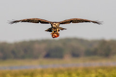 Snail Kite Landing with a Apple Snail (dbadair) Tags: outdoor seaside shore sky water nature wildlife 7dm2 7d ii ef100400mm canon florida bird