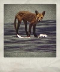 Emaciated Fox   Red Oak Park neighborhood   Marietta, Georgia (steveartist) Tags: foxes sonydscwx220 lightshade asphaltroad road wildfox telephoto instantapp snapseed fastfoodscraps mariettaga stevefrenkel