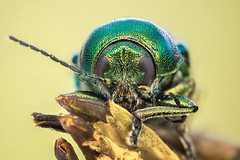 green worm (Piotr Jaworski) Tags: macro makro owad insecte chrzaszcz scarabe visage twarz portraite portret olympus omd em5 1442 inverse pitrus piotr vert yelow green om natural light swiatlo naturalne lumière naturelle