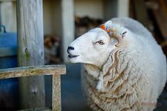 Dopey is 4 [Explore] (AnnieMacD) Tags: dopey sheep pets applecross culduie