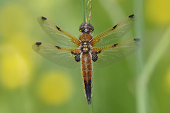 Four Spotted Chaser (Hugobian) Tags: four spotted chaser dragonfly dragonflies insect nature fauna pentax k1 paxton pits
