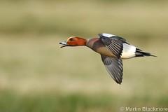 Wigeon in flight 129887 (wildlifetog) Tags: duck brading marshes martin blackmore isleofwight uk wigeon inflight wildlifetog wildlife wild brtish bird birds rspb