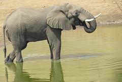 Elephant ( meditation - mymering ) (Pixi2011) Tags: elephants krugernationalpark southafrica africa wildlifeafrica wildlife wildanimals animals nature shingwedzi