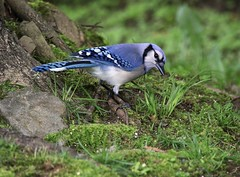 Thinking (Diane Marshman) Tags: bluejay large bird blue wings head crest tail feathers white underneath belly gray black neck ring beak spring pa pennsylvania nature wildlife birding green grass rock tree roots