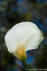 20190529 Calla Lily Love 27800-Edit-2 (Laurie2123) Tags: calla callalily laurieabbotthartphotography laurieturnerphotography laurietakespics nikkor105mm nikond800 odc odc2019 ourdailychallenge backyard bokeh flowers macro