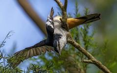 varied triller acrobatics (Fat Burns ☮) Tags: variedtriller lalageleucomela triller bird australianbird fauns australianfauna nature wildlife australianwildlife nikon200500mmf56eedvr nikond500 oxleycreekcommon brisbane queensland australia