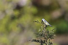 Blue Tit / pimpelmees (douwesvincent) Tags: garden birding urban birds canon blue tit small sweet breeding