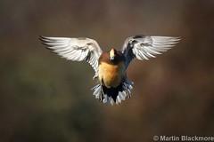 Wigeon in flight 128739 (wildlifetog) Tags: mbiow martin marshes blackmore brading isleofwight uk wildlife wings wigeon inflight wild british birds bird duck rspb