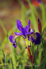 Iris blauw (♥ Annieta ) Tags: annieta mei 2019 sony6000 nederland netherlands tuin garden jardin bloem flower fleur flora iris blauw bleu blue allrightsreserved usingthispicturewithoutpermissionisillegal
