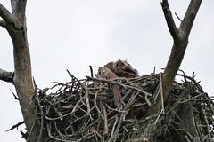 PHO010_SpringBloomsChicks_LuciWest_11 (luciwest) Tags: spring nature 2019 happierplace florida bird wildlife chick juvenilebird babybird birdofprey nest tree owl greathornedowl