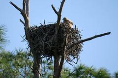 PHO010_SpringBloomsChicks_LuciWest_09 (luciwest) Tags: spring nature 2019 happierplace florida bird wildlife chick juvenilebird babybird birdofprey nest tree owl greathornedowl