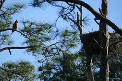 PHO010_SpringBloomsChicks_LuciWest_08 (luciwest) Tags: spring nature 2019 happierplace florida bird wildlife chick juvenilebird babybird birdofprey nest tree owl greathornedowl