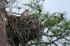 Great Horned Owl Chick (Honeymoon Island, Florida) (luciwest) Tags: spring nature 2019 happierplace florida bird wildlife chick juvenilebird babybird birdofprey nest tree owl greathornedowl
