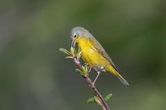 Nashville Warbler (Joe Branco) Tags: green bird nature birds branco photoshop nashville wildlife joe lightroom nashvillewarbler nikond850 joebrancophotographer
