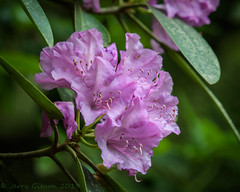 DeSoto State Park Catawba Rhodendron bloom 05-09-2019 (Jerry's Wild Life) Tags: alabama rhododendron desotostatepark nativeplant rhododendroncatawbiense alabamastatepark rhododendronflower rhododendronbloom alabamastateparks lodgefalls catawbarhodendron alabamanativeplant appalachiannativeplant catawbarhodendronflower catawbarhodendronbloom