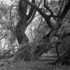 Taxus (4foot2) Tags: taxusbaccata taxus yew trees tree forest kingleyvale analogue film filmphotography 120film mediumformat bw blackandwhite monochrome mono ilford ilfordhp5plus hp5plus rodinal standdevelop kiev kiev88cm 88cm киев88cm ukrainiancamera hasselbladski fsu formersovietunion cccp ussr киев carlzeissjenabiometar80mm28 carl carlzeissjena zeiss jena biometar80mm28 biometar 80mm 28 f28 2019 fourfoottwo 4foot2 4foot2flickr 4foot2photostream