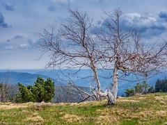 Birch tree on Hornisgrinde, Black Forest (Steppenwolf33) Tags: birch tree viewpont blackforest hornisgrinde steppenwolf33 mountains