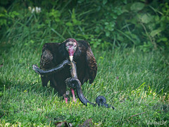 Vulture Feast (Zoo Much Information) Tags: czyn7fo snake vulture hungry scavenger birds