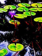 Contrast and lilies (Steve Taylor (Photography)) Tags: digitalart black blue brown contrast colourful green mauve purple water pond asia singapore city plant flower lily leaves reflection