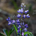 Native lupine in bloom