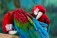 may 2019 brookfield zoo (timp37) Tags: may 2019 brookfield zoo illinois birds macaw