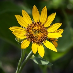 Yellow arrowleaf balsamroot (BLMOregon) Tags: blm bureauoflandmanagement publiclands washington goldendale washingtonstate nativespecies wildflower wildflowers balsamorhizasagittata yellow arrowleaf balsamroot nature outdoors flowers