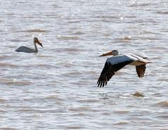 Pelicans (Lester Public Library) Tags: tworiverswisconsin tworivers tworiversharbor harbor water lakemichigan lake lesterpubliclibrarytworiverswisconsin readdiscoverconnectenrich pelicans pelican