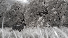Lone Sheep Infrared (GeorgeKBarker) Tags: sheep infrared 720 field trees grass sunset light wool animal nature depth