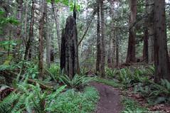 2019-05-29 Whistle Lake Trail 304 (02) (1024x680) (-jon) Tags: anacortes skagitcounty skagit washingtonstate washington salishsea fidalgoisland sanjuanislands hike hiking walk walking woods forest pnw pacificnorthwest whistlelake lake fern tree trail path anacortescommunityforestlands acfl trail304 a266122photographyproduction nature canonpowershotelph180 canon powershot elph180