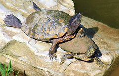 Girl Watching (Kaptured by Kala) Tags: trachemysscriptaelegans redearedslider waterturtle turtle aquaticturtle whiterocklake dallastexas creekbetweenlowerspillwaystepsandlowerspillway reptile rock spillway walkingpathabovethespillway maleturtle maleredearedslider belowme basking sunshine rivercooter pseudemysconcinna closeup malerivercooter malecooter turtlerock