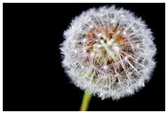 Dandilion (Mallybee) Tags: mallybee dandelion xt3 fuji fujifilm 55mm f14 manual prime 7artisans flower outside
