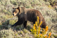 Passing glance (ChicagoBob46) Tags: grizz grizzly grizzlybear bear yellowstone yellowstonenationalpark nature wildlife coth5 ngc naturethroughthelens npc