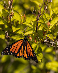 Monarch (AChucksEyeView) Tags: monarch butterfly nature orange black insect color wildlife tamron150600g2