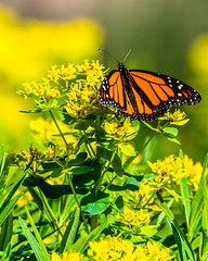 Monarch (AChucksEyeView) Tags: monarch butterfly nature orange black insect green flying wildlife