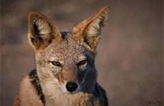 Black-backed jackal (Canis mesomelas) (wildcaty) Tags: africa hwange zimbabwe jackal blackbackedjackal africanwildlife canid closeup