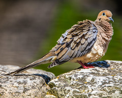 Mourning Dove (AChucksEyeView) Tags: mourning dove bird color nature feathers rock wildlife pretty beak