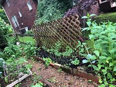 Fence Line (lady-ursula) Tags: beebalm wallawallaonions redcabbage mammothpeas echinacea blackplumtomatoes monarda celery