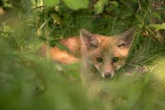 Fox Pup (Jake -) Tags: wildlife animal nature fox cub pup spring nikon portraiture natural uk ukwildlife red native green springwatch