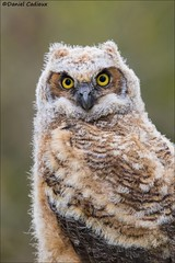 Young Great Horned Owl (Daniel Cadieux) Tags: greathornedowl owl owlet stare staring portrait closeup vertical