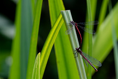 Lac de Bambois (miniquesk) Tags: libellule photographer photos faune fun crazy