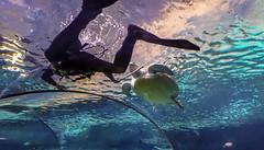 Guiding a Sea Turtle in the Shark Lagoon at Ripley's Aquarium of the Smokies, Gatlinburg, Tennessee (lhboudreau) Tags: ripleysaquariumofthesmokies ripleysaquarium aquarium gatlinburg tennessee sealife sharktank tunnel lagoon sharklagoon smokies underwater tunnelunderthesharklagoon turtle seaturtle glasstunnel water people diver skindiver tank fishtank animal publicaquarium terrapin