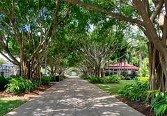 Avenue (simonmgc) Tags: avenue banyan cairns esplanade fogartypark tree