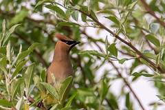 Cedar Waxwing (Nikki Nobles) Tags: cedarwaxwing waxwings migratorybirds songbirds