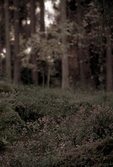 some memories fade (hyperboreas) Tags: forest woods trees forestfloor sepia shrub blueberry undergrowth tampere finland suomi nordic autumn fall pirkanmaa boreal scandinavia