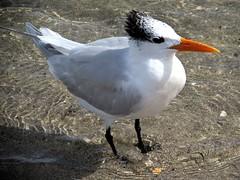 Royal tern (thomasgorman1) Tags: bird seabird tern royal gull birds beach hollywood florida portrait nature canon