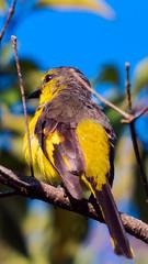 bird (sandilesmana28) Tags: bird yellow nature sony a9 400 28 gm