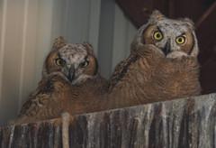 owlets (Jami Bollschweiler Photography) Tags: owlets baby owls great horned utah wildlife photography