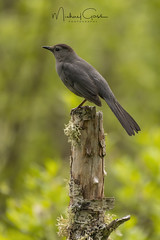 Gray Catbird (NikonDigifan) Tags: graycatbird birdwatching bird animal nature naturephotography naturesfinest wildlife wildlifephotography idaho pacificnorthwest nikond850 nikon nikon20050056 mikegassphotography